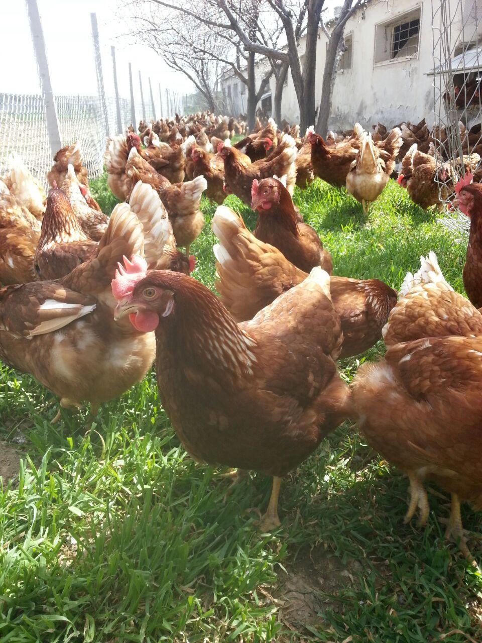 Tavuk eti piliç: kimdir ve nasıl doğru şekilde büyütülür